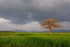 Arbre isolé dans des rizières Photo stock