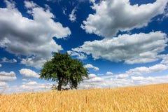 Arbre isolé dans le domaine du blé d'or Image libre de droits