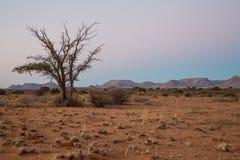 Arbre isolé de Namib Photo stock