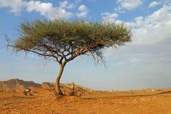 Arbre isolé EAU de désert photo stock