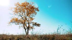Arbre isolé en automne contre un ciel bleu dans un domaine beau paysage d'automne de mouvement seul d'arbre Autumn Russia clips vidéos