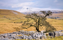 Arbre isolé près d'Ingleborough Image stock