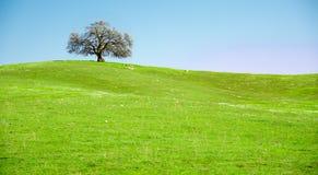 Arbre isolé sur la colline verte Photographie stock libre de droits