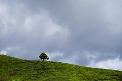 Arbre isolé sur la montagne au beau paysage de la plantation de thé avec le clound dramatique et le ciel bleu Photographie stock libre de droits