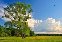 Arbre isolé sur un pré vert d'été Photos libres de droits