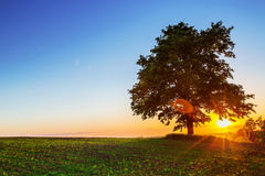 Arbre isolé, tir de coucher du soleil Photographie stock libre de droits