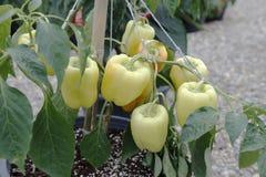 Arbre jaune-clair de paprikas dans la période de développement avant la moisson Image stock