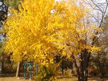 Arbre jaune d'automne Photographie stock