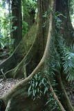 Arbre jaune de Carabeen dans une forêt tropicale australienne Image libre de droits