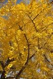 Arbre jaune de ginkgo d'automne photographie stock
