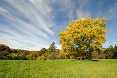 Arbre jaune géant d'automne Photographie stock