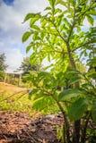 Arbre konjac vert (Amorphophallus konjac) dans la forêt, aussi kn Images stock