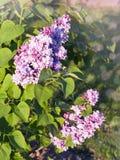 Arbre lilas Photographie stock libre de droits