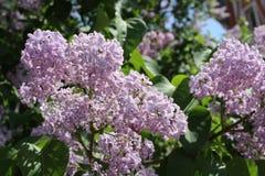 Arbre lilas Image libre de droits