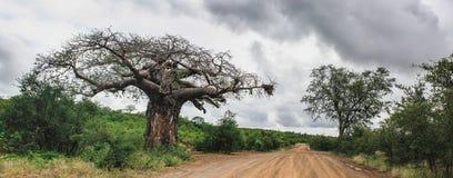 Arbre mûr de baobab adjacent un chemin de terre photo stock