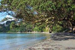 Arbre magnifique de Pohutukawa sur la plage d'Oneroa, île de Waiheke Images stock