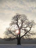 Arbre majestueux de l'hiver Photo libre de droits