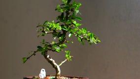 Arbre mis en pot de bonsaïs avec les fleurs blanches savoureuses clips vidéos
