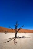 Arbre mort d'acacia Photographie stock