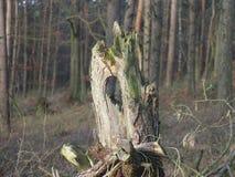 Arbre mort dans la forêt Photographie stock libre de droits