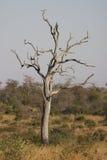 Arbre mort dans le bushveld Photo stock