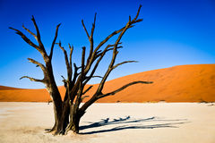 Arbre mort dans le désert Photo stock