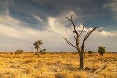 Arbre mort dans le désert de Kalahari Photographie stock libre de droits