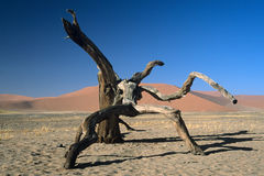 Arbre mort dans le désert de Namib Image libre de droits