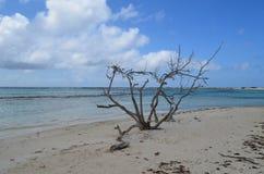 Arbre mort de bois de flottage sur la plage d'Aruba Photos stock