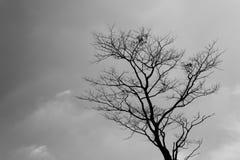 Arbre mort de silhouette Photos libres de droits