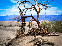 Arbre mort Death Valley images libres de droits