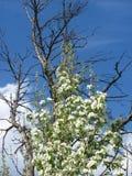 Arbre mort et arbre vivant contre le ciel Photo libre de droits