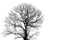Arbre mort et branche d'isolement sur le fond blanc Branches noires de contexte d'arbre Fond de texture de nature Branche d'arbre images stock