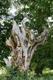 Arbre mort et se délabrant dans une forêt dans Essex photos libres de droits