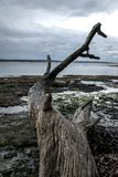 Arbre mort par la plage photos libres de droits