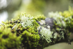 Arbre moussu dans Forest Park brumeux photographie stock libre de droits