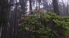 Arbre moussu de belle fleur avec les fleurs de floraison dans la région scénique nationale d'Alishan à Taïwan dans le jour brumeu banque de vidéos