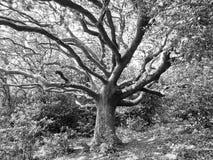 Arbre mystique dans la forêt Image libre de droits