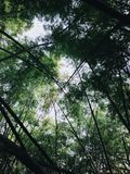 Arbre naturel dans la forêt en bambou Photos libres de droits
