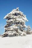 arbre neigeux Photos libres de droits