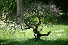 Arbre noueux de bonsaïs Image libre de droits