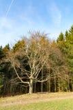 Arbre nu devant une forêt photographie stock libre de droits