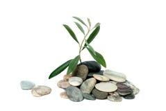 arbre olive de pousse Image libre de droits