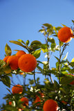 Arbre orange Photographie stock