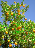 Arbre orange Image stock