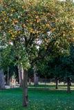 Arbre orange Photo libre de droits