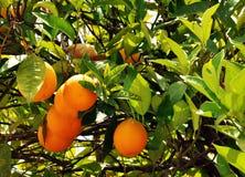 Arbre orange Photographie stock libre de droits