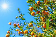 Arbre orange Photos stock