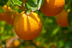 Arbre orange Photos libres de droits