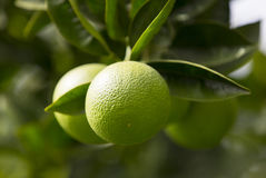 Arbre orange avec des fruits Photo libre de droits